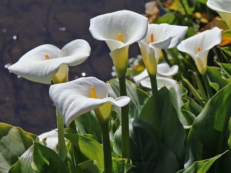 calla fiori