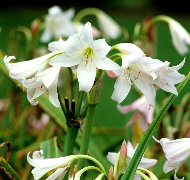 fiori crinum