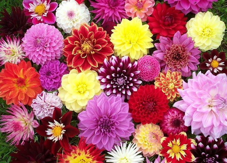 dalie fiorite