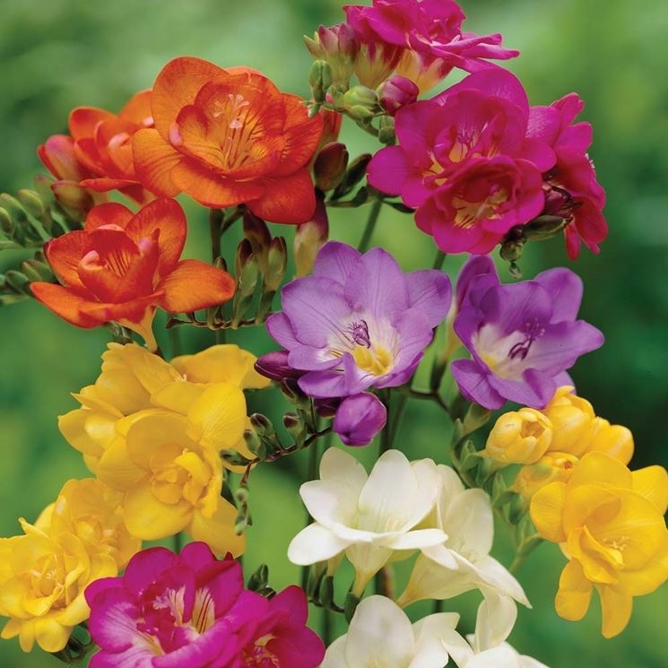 fiori fresia