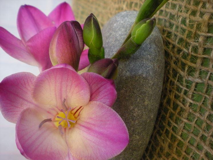 fresia corimbosa bulbi