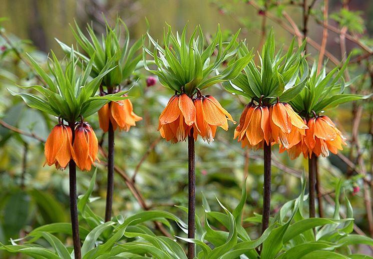 corona imperiale fritillaria imperialis fritillaria. Black Bedroom Furniture Sets. Home Design Ideas