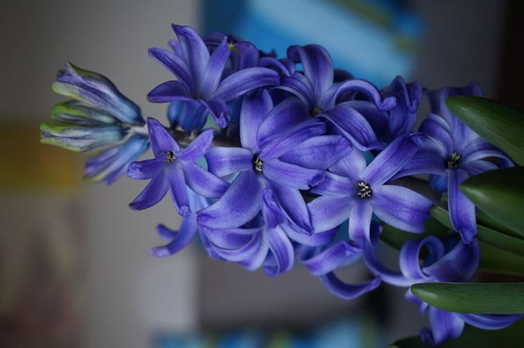 hyazinthus orientalis