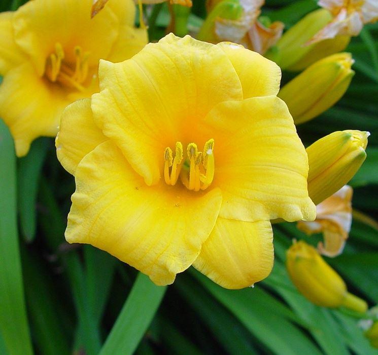 hemerocallis giallo