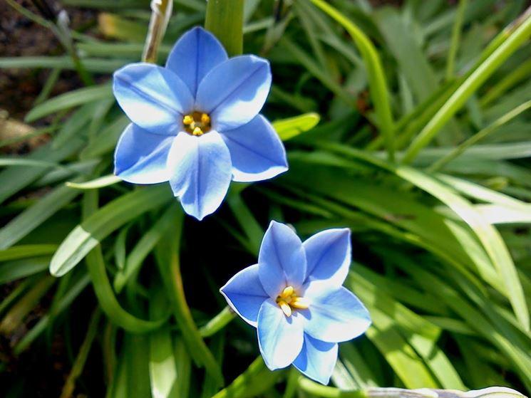 fiore azzurro di ipheion