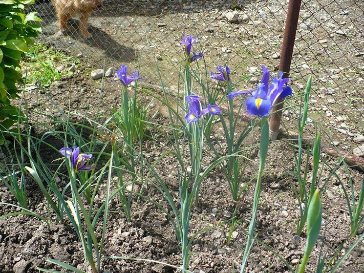pianta di iris hollandica