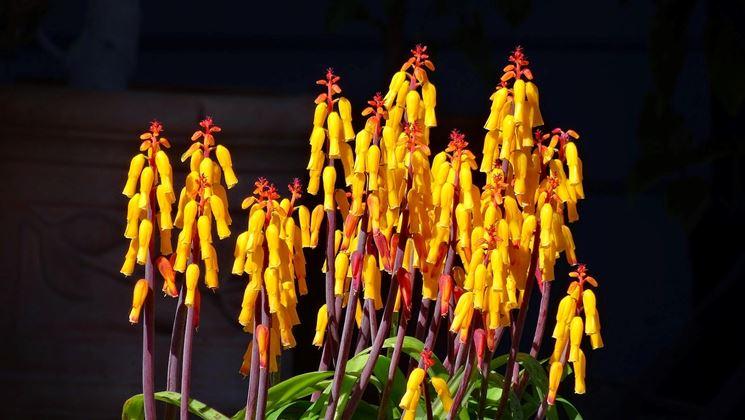 pianta di lachenalia
