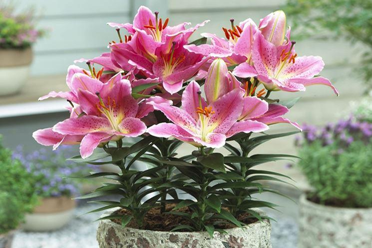 Giglio lilium lilium bulbi giglio lilium bulbi for Lilium in vaso