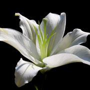 lilium fiore