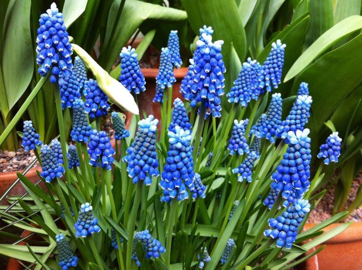cipollaccio fiore