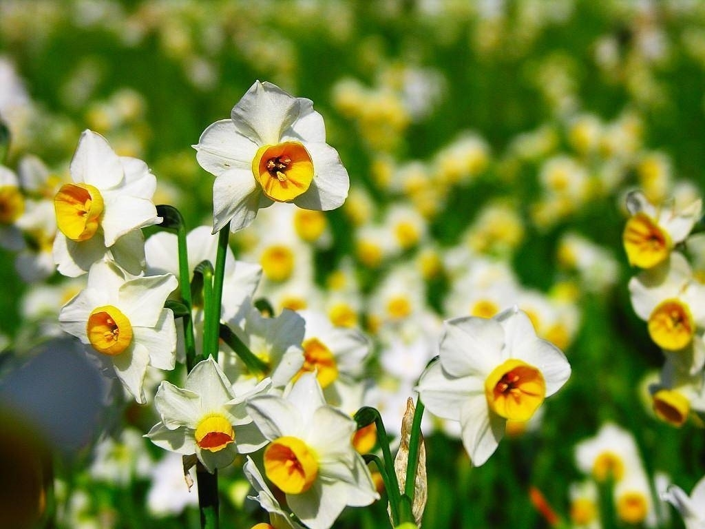 Struttura del fiore di narciso