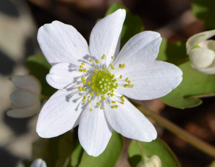 anemonella thalictroides