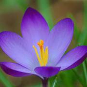crocus fiore