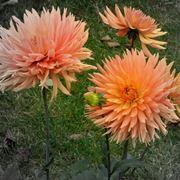 fiore simile alla dalia