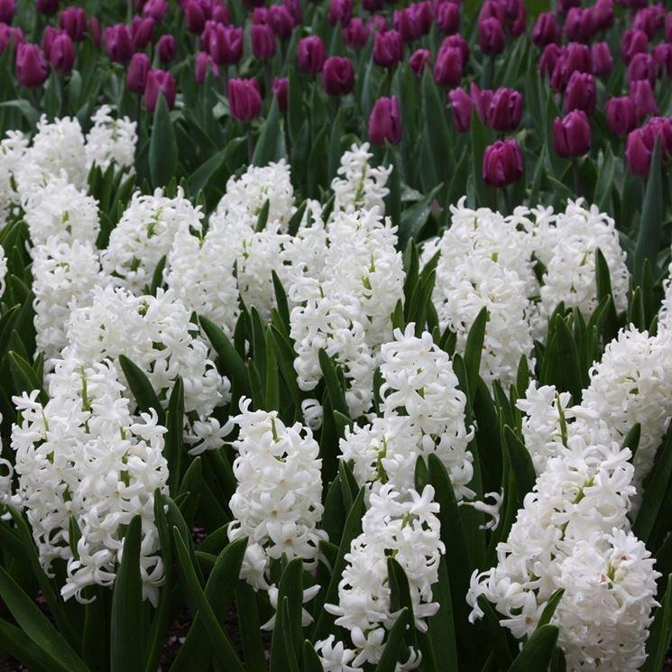 giacinti bianchi