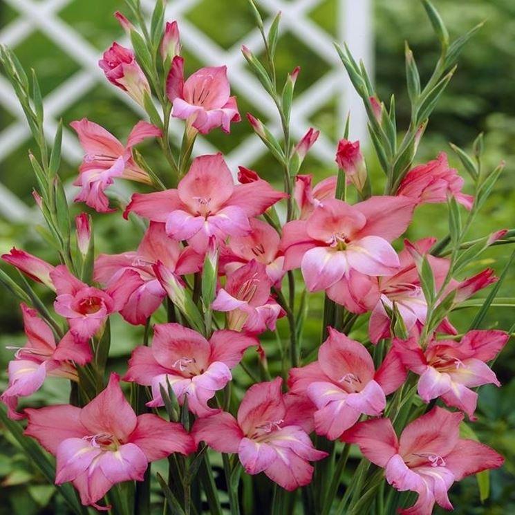 fiori di gladioli