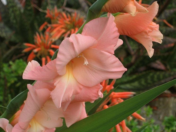 Riproduzione gladioli