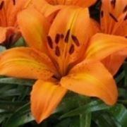 gigli fiori