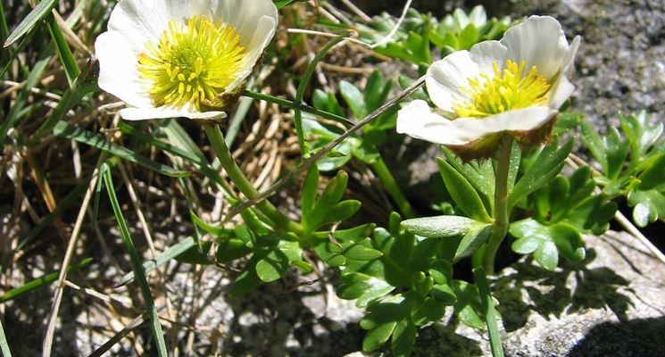 Ranunculus amplexicaulis