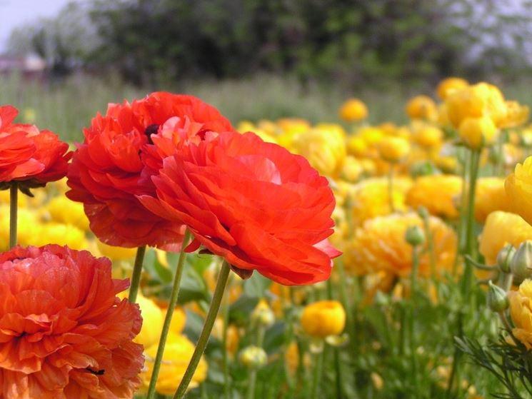 fiori ranuncolo