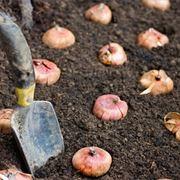 riposo vegetativo bulbi