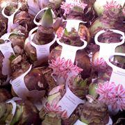 bulbi di giacinto
