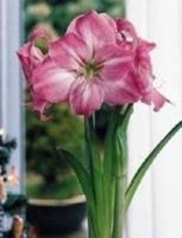 Forzare i fiori di bulbi in inverno speciali forzare for Fiori invernali da vaso