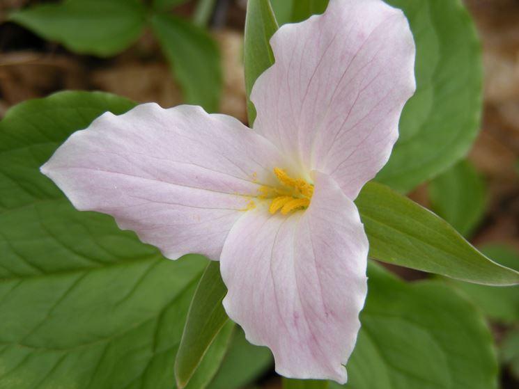 trillium rosa