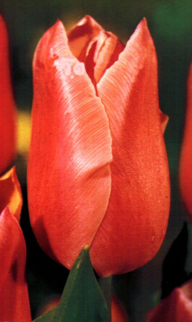 bonne nuit dans commentaire à la Sacrée Écriture pour le jour courant tulipano