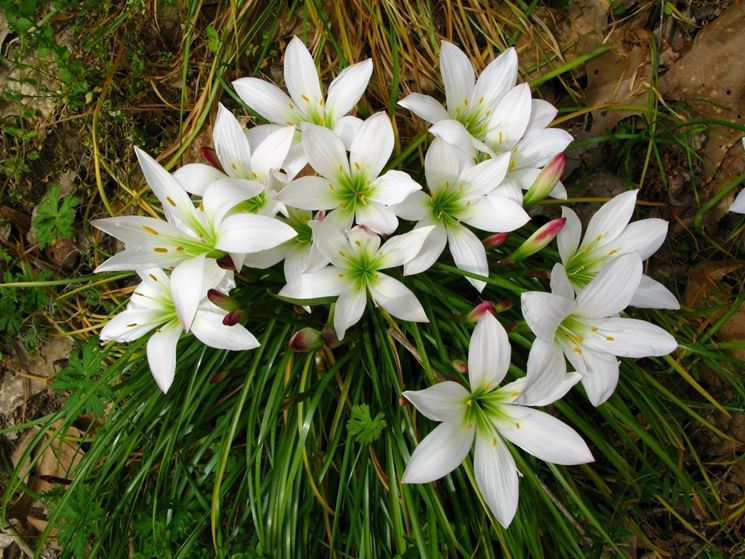 Fiori Bianchi Sei Petali.Zephyranthes Zephyranthes Bulbi Zephyranthes Bulbi