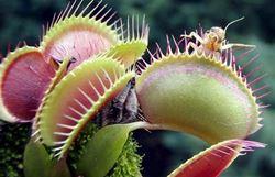 pianta carnivora
