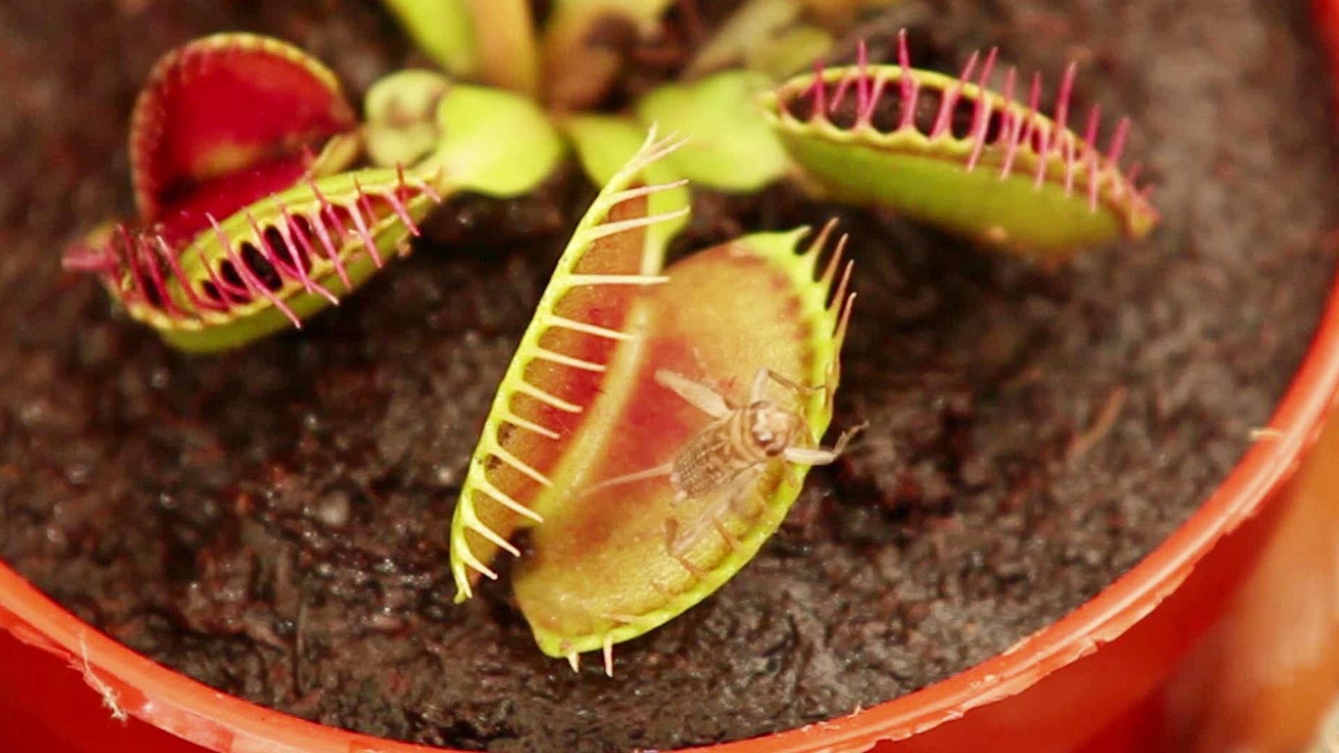 Caratteristiche della pianta di spatiphyllum