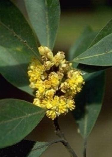 fiore d'alloro