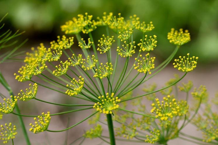 fiore aneto