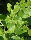 "Glycyrrhiza glabra"""