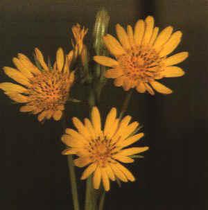 """Tragopogon pratensis"""""""