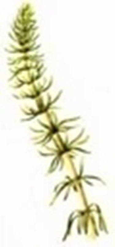acetosa