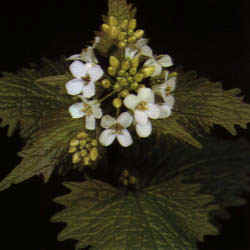 Alliaria officinalis""