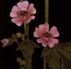 Althea officinalis""
