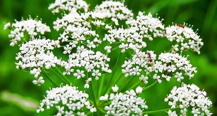 fiore d'anice