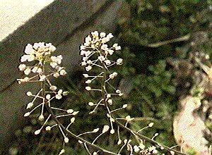 "Capsella bursa pastoris"""