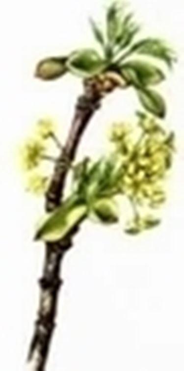 corniolo