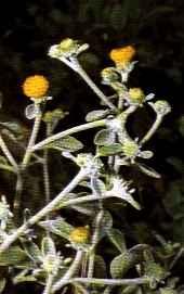 "Inula ensifolia"""