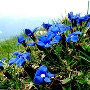 genziana fiore