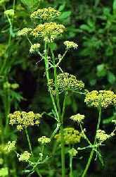 """Levisticum officinalis"""""""
