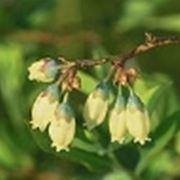 pianta mirtillo
