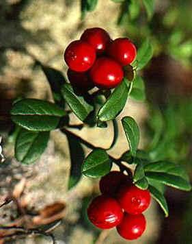 """Vaccinium vitis-idaea"""""""