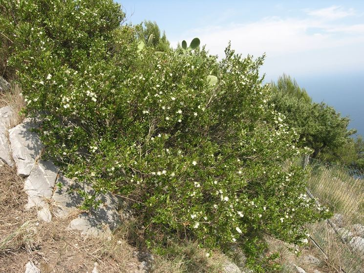 piante di mirto