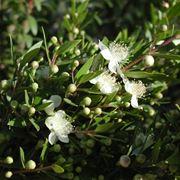 Mirto mortella myrtus communis myrtus communis for Pianta mirto