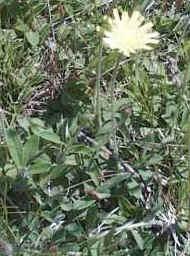 """Hieracium pilosella"""""""